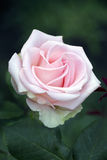 Rose flower. Under the sun Stock Image