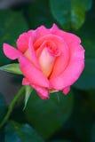 Rose. Flower under the sun Stock Image