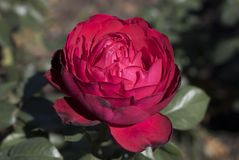 Red rose flower used as Valentine`s Day royalty free stock images