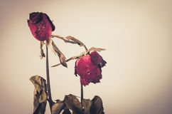 Rose flower vintage Royalty Free Stock Photos