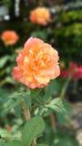 Rose. Flower wallpaper tree beautiful nature stock images
