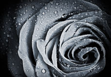 Rose flower with water droplets Stock Photos