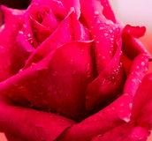 Rose Flower with water droplets Stock Photo