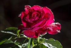Rose Flower With Water Drops después de la lluvia Foto de archivo