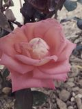 Rose flower. Waww!! Beautiful rose flower Royalty Free Stock Images