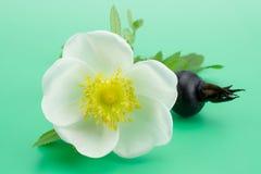 Rose flower. White rose flower on light green background Stock Images