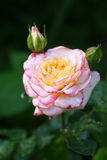 Rose flower. In white, yellow and pink in bud Stock Photos
