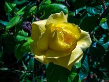 Rose flower yellow royalty free stock images