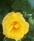 Rose flower yellow summer garden natural stock photography