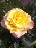 Rose in a flowerbed! Odessa, Ukraine 2017 stock photos