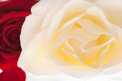 Rose Flowerhead Royalty Free Stock Photos