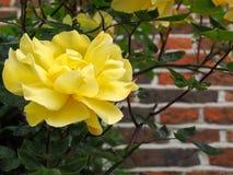 Rose Flowering amarela contra uma parede em Southwold foto de stock royalty free