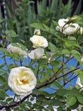 Rose Flowering selvagem branca imagens de stock royalty free