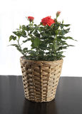 Rose in flowerpot. Red natural rose in the flowepot on the table stock photos