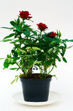 Rose in flowerpot. Royalty Free Stock Photography