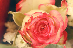 Rose flowers background close up Royalty Free Stock Image