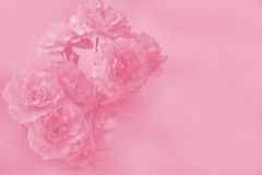 Rose Flowers Background Stock Image