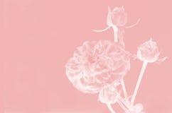 Rose Flowers Background Stock Photos