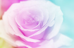 Rose flowers background/ vintage spring Royalty Free Stock Images