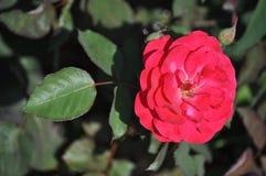 Rose,Flowers Stock Photos