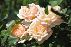 Rose,Flowers Stock Image
