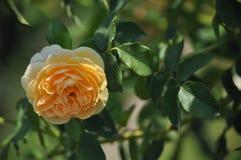 Rose,Flowers Royalty Free Stock Photos