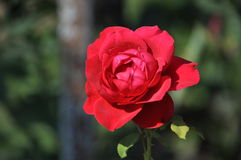 Rose,Flowers Royalty Free Stock Photo