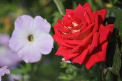 Rose,Flowers Royalty Free Stock Image