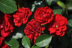 Rose,Flowers Royalty Free Stock Images