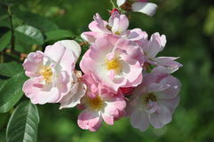 Rose,Flowers Royalty Free Stock Photography