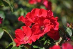 Rose,Flowers Stock Photo