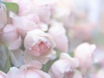 Rose flowers blooming Stock Images
