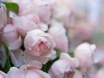 Rose flowers blooming Stock Photos