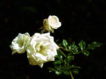 Rose flowers and bud Stock Photos