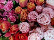 Rose flowers closeup, red roses. Valentine`s Day royalty free stock image