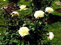 Rose flowers of colorful baroque garden at Rundale palace in Latvia royalty free stock photo