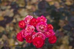Rose Flowers dans la conception des tons foncés images stock
