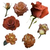Rose flowers of different colors on white isolated background. stock photos