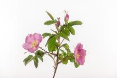 Rose Flowers e botões selvagens no branco Fotos de Stock Royalty Free