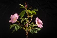 Rose Flowers e germogli selvaggi sul nero Immagine Stock