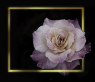 Rose Flowers en el diseño de tonos oscuros naturales Marco del oro fotografía de archivo