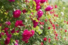 Rose Flowers en hogar Foto de archivo