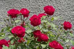Rose Flowers en hogar Fotos de archivo