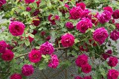Rose Flowers en hogar Fotografía de archivo libre de regalías