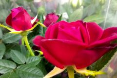Rose flowers in the floral market. Close up photography royalty free stock image