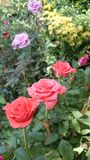 Rose. Flowers fresh love  shop-trees Stock Photography