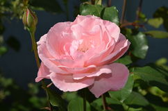 Rose. Flowers in the garden and leaves Royalty Free Stock Photography