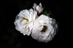 Rose Flowers in het ontwerp van natuurlijke donkere tonen Het beeld is het art. royalty-vrije stock afbeeldingen