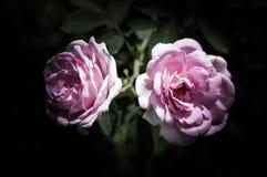 Rose Flowers in het ontwerp van natuurlijke donkere tonen Het beeld is het art. stock afbeeldingen