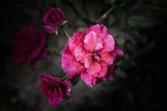 Rose Flowers in het ontwerp van natuurlijke donkere tonen Het beeld is het art. royalty-vrije stock foto's